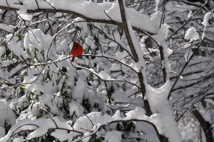 © Peter Killeen, Snow Cardinal, Sunnyside, NY