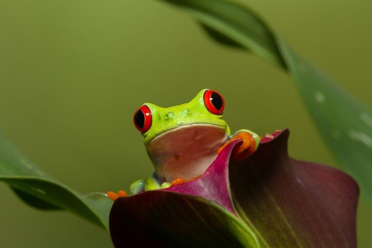 © Harvey Kopel, Tree Frog, Florida