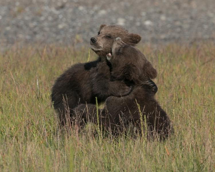 © Nancy Langer, 5-Month Old Grizzly Cubs, Lake Clark NP, Alaska