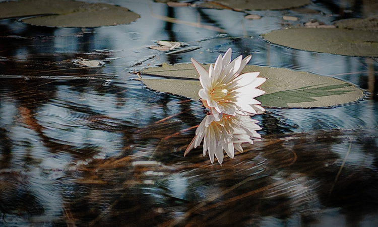 © Barbara Pearson, Snowy Egret, Sarasota, Florida
