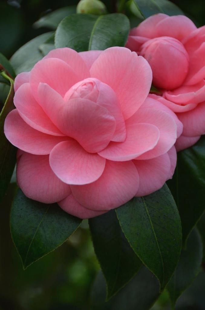 © Daphne Prior, Spring Camellias, Oyster Bay, NY