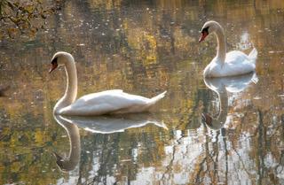 © Alice Su, Swan Lake, Van Cortland Lake, Bronx, NY