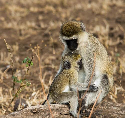 © Marilyn Thypin, Loving Monkeys, Tanzania