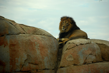 © Diane Hardy Waller, You Called My Name, San Diego Zoo, CA