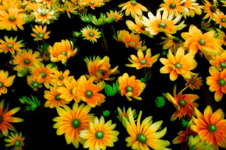 © John Wazeter, Chrysanthemum Mosaic, NY Botanical Garden