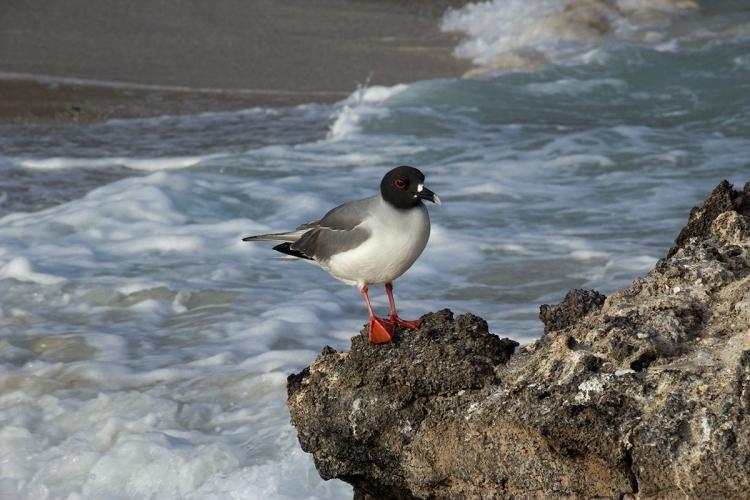 © Ann Wenzel, Swallow Tailed Gull at Pinnacle Rock, Bartholomew Island, Galapagos